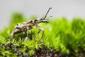 las manchas negras, alicates, soporte, escarabajo (rhagium mordax) foto