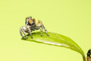 l'araignée sauteuse