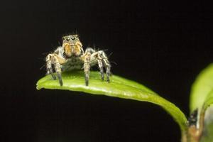 la araña saltadora foto
