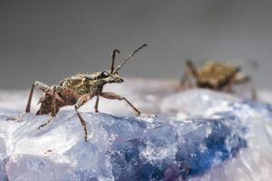 los alicates con manchas negras admiten escarabajo (rhagium mordax) foto