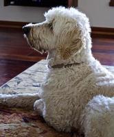 Golden Doodle perro esperando pacientemente foto