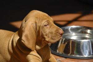 Portrait Of Vizsla Puppy With Water Bowl In The Background
