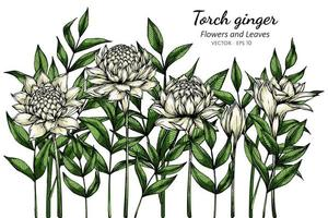 White Torch ginger flowers vector