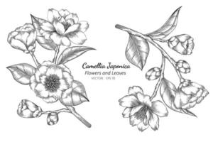 Camellia Japonica flowers vector