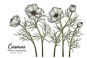 White Cosmos flowers vector