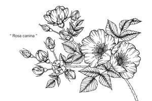 Rosa canina flower  vector