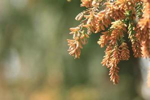 alergia al polen de cedro foto