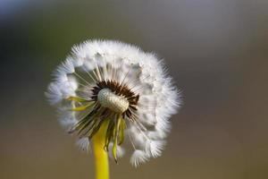 Dandelion with seeds on grass background