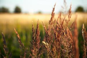 Lavendel am Weizenfeld