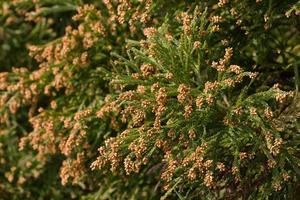 Flower of cedar