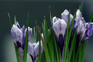 blue crocus flowers spring photo