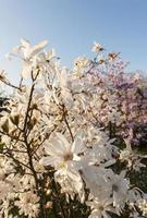 Beautiful magnolia blossoms in spring photo