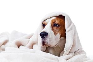 chien sous une couverture sur blanc