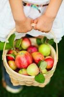 Organic apples in a basket photo