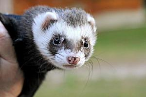 Ferret looking in camera