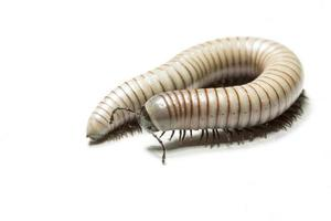 centipede macro