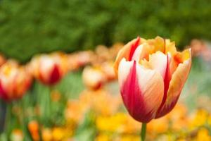 Red Yellow Tulip photo