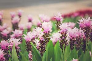 cúrcuma alismatifolia o tulipán de siam o tulipán de verano, efecto vintage foto