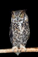 Great horned owl on branch photo