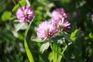 trébol rojo alfalfa en el prado alimento concentrado foto