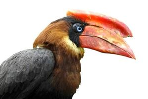 Isolated Portrait calao Rufous hornbill