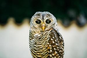 The rufous-legged owl is a medium sized owl