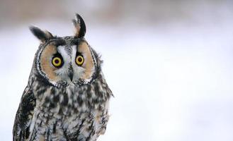 Long-eared Owl Head-shot