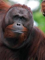 Male Orang utan photo