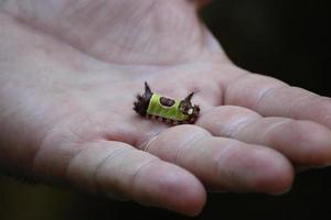 Saddleback Caterpillar photo