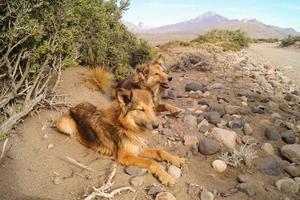 perros pastores de los andes foto
