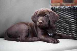 Young labrador retriever puppy on sofa photo