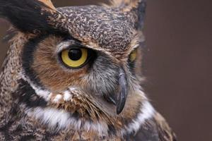 Great Horned Owl Focus photo