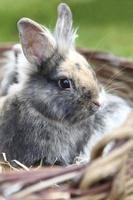 Young Lion head bunny photo