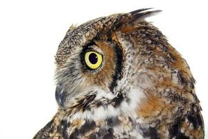 Profile of a Great Horned owl on white photo
