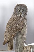 Great Gray Owl, Strix nebulosa, looking at viewer