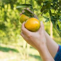 Chica asiática cosecha mandarina en granja orgánica foto