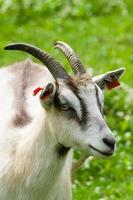 Goat with long horns closeup, grassy field on background