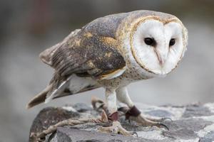 Closeup of Barn Owl