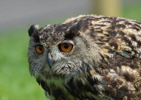 Eurasian Eagle Owl / Bubo