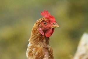 portrait de poule brune