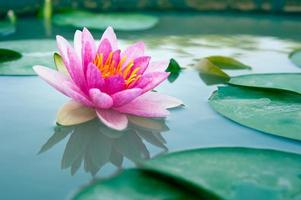 beautiful waterlily or lotus flower in a pond photo