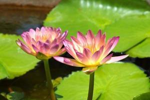 Beautiful waterlily Hybrid flower.