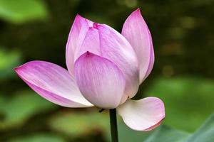 Loto rosa de cerca beijing china