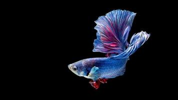 Blue and red siamese fighting fish isolated on black photo