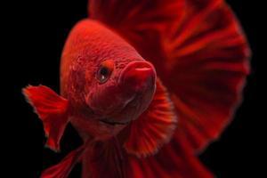 pez luchador siamés