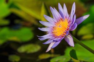 loto morado