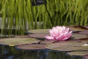 Pink water lily on a lily pad in a pond. photo