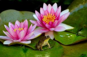 Bullfrog sits between two pink water lillies.
