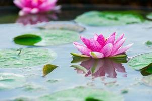 hermosa nenúfar o flor de loto en un estanque
