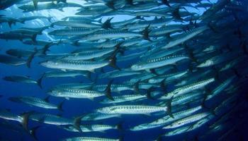 School of Barracuda Fish photo